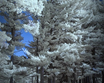 Infrared Pine Trees in Garfield Park in Grand Rapids Michigan No.0068 - An Infrared Fine Art Nature Photograph