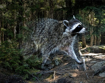Racoon Bandit emerging from the woods at Stanley Park in Vancouver British Columbia No.0941 A Surreal Fantasy Fine Art Animal Photograph