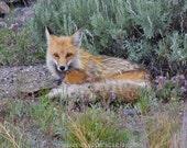 Red Fox photograph, Yellowstone Wyoming, orange and grey decor, Animal Photography