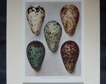 1930s Vintage Bird Egg Print - Henrik Grönvold Print - Guillemot Egg Art - Guillemot Print - Available Framed - Ornithology Art - Easter Art