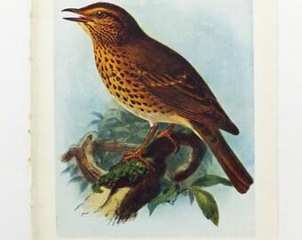 Song Thrush OR Fieldfare Picture, Antique Bird Print, Vintage Bird Illustration, Unframed Bird Picture
