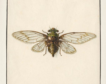 Cicada Drawing : Fine art print of a vintage natural history antique illustration, 8x10 11x14 12x18 13x19 IN-05