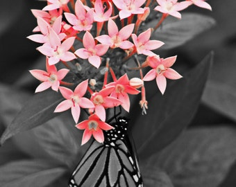 "Butterfly photo: Monarch butterfly photo print 9x12"" black white pop of color butterfly art pink butterfly art"