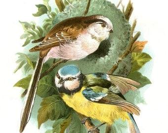 Vintage TITMOUSE  Birds - Digital Instant Download - nature ephemera collage supply