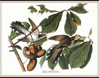 Audubon Bird Art Print, Yellow Billed Cuckoo, 19th Century Art, 1970s Vintage Lithograph, Nature Illustration, Wall Art, Home Decor