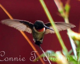 Fine Art Photography Card-Fine Art Photograph-Hummingbird Photograph-Hummingbird-Nature Card-Wings-Hummingbird Card-Flying Bird-Male Hummer