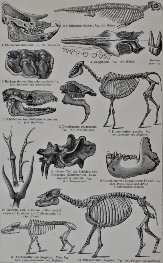 Fossils print. Old book plate, 1904. Antique paleontology  illustration. 110 years lithograph. 9'6 x 6'2 inches.