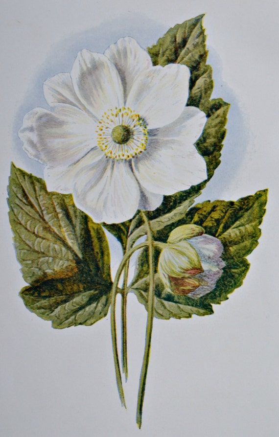 Japanese anemone. Thimbleweed. Old color print.107 years old illustration.Antique lithograph.1907. Botany print. 7'4 x 5'1 inches.