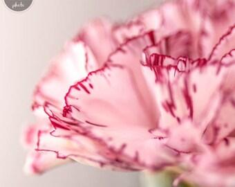 Macro Fotography Pink Carnation - Still Life - Flowers - Macro Photo - Macro Flower Photographs - Flowers Macro - MNM Photo