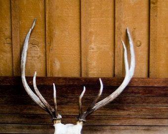 Rustic Deer Skull Antlers Bone White and Brown Wall Art Room Decor Man Cave Hunter Theme - After a Fine Art Photograph