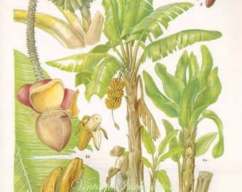 Botanical Fruits BANANAS Print edible plants kitchen vintage decor wall art garden illustration 109
