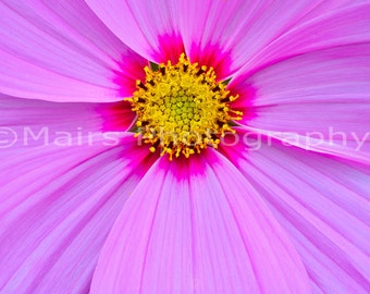 Nursery Decor, Yellow Pink Magenta Flower Macro Pattern, Garden Photography, Fine Art Photography matted & signed 7x10 original photograph
