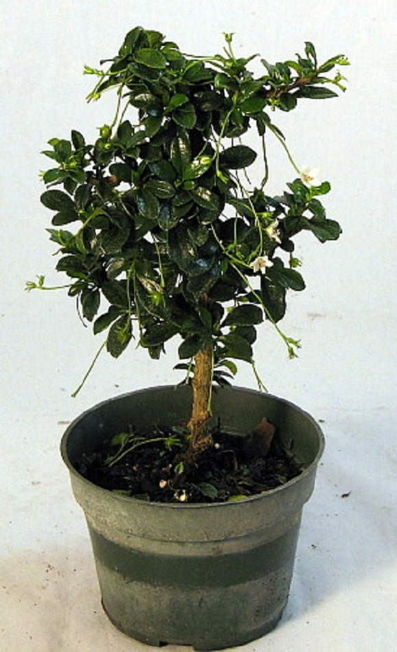 mini fukien tea pre bonsai tree carmona 4 pot. Black Bedroom Furniture Sets. Home Design Ideas