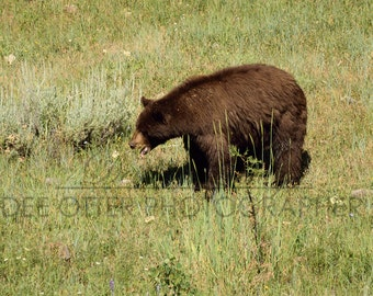 SALE Yellowstone black bear aluminium print 11x14in