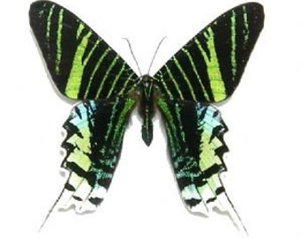 Real Urania leilus Moth Butterfly, spread for your project or laminated or unmounted