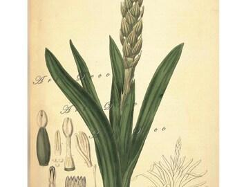 antique botanical art print, a printable digital download, collage sheet no. 1622
