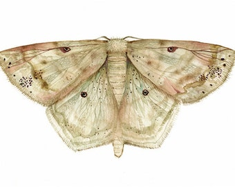"Watercolor Lace Border Moth-Scopula Limboundata Large 11 x 17"" print"