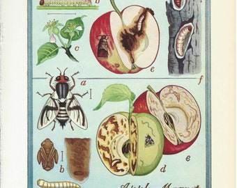 Vintage Book Plate - Apple Maggot / Codling Moth / double sided / Insects / Garden Pests