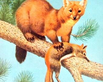 American Sable or Marten  - Wild Animal Print - 1963 Vintage Book Page - 7 x 10