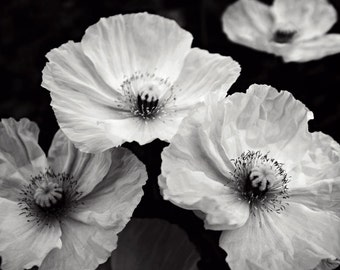 "Black and white poppy flowers botanical photograph gray wall art monochrome floral print ""Three Poppies"""