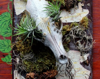 Survival of the Most Adaptable - wood frame assemblage with coyote skull, air plants, moss, lichens, seeds, more
