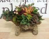 SALE, Succulent Turtle Topiary, The Original Succulent Designs, Featured in Birds and Blooms Magazine