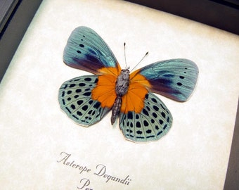 Real Framed Asterope Degandii Orange Patch Blue Butterfly 6253
