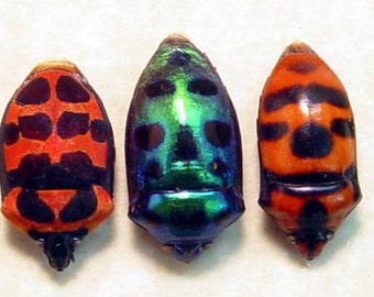 Valentine's Day Gift Real Scutelleridae Sp Man Face Beetle Set Trio 8231