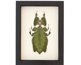 Real Insect Walking Leaf Artwork Phyllium Giganteum Specimen