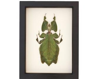 Real Insect Walking Leaf Artwork Phyllium Giganteum Specimen