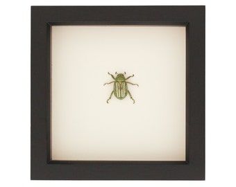 Real Framed Beetle Green Silver Chrysina gloriosa