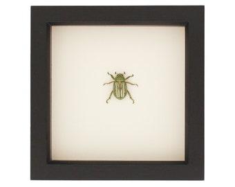 Real Framed Beetle Green Silver Chrysina gloriosa