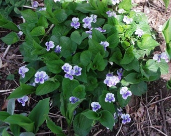 Sale !!!!!!!!!!!!!! Light Purple Wild Violets 10 plugs  live plants.