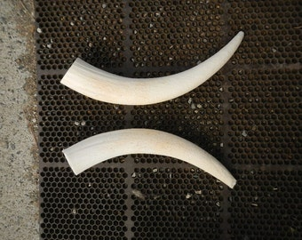 Domestic Cow Horn Cores Lot No. 0820-B