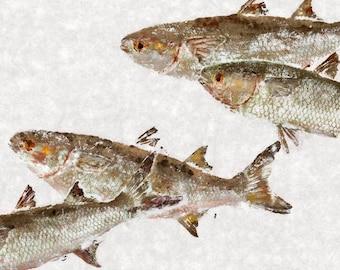 Mullet - Gyotaku Fish Rubbing - Limited Edition Print (32 x 19.5)