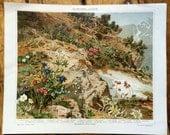 1894 alpine plants & flowers original antique botanical flora print