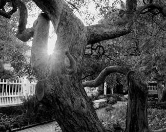 Fine Art Photograph - Prescott Park Tree - nature photography