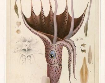 Vintage Book Plate Squid, Buy 5, get 1 FREE