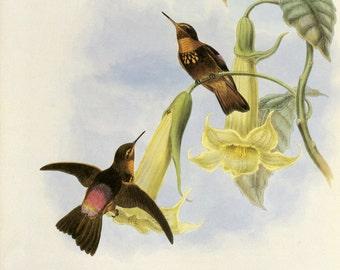 Vintage John Gould Hummingbird Print book Plate Sale, Buy 3, get 1 Free