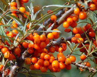 Sea Buckthorn Seeds - Non-GMO, Untreated