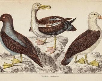 1840 Antique SEA BIRD print, hand colored  engraving, seagulls species, gull, Original antique print