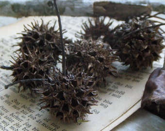 Witch's Burr. Sweet Gum Balls for Scenting Banishing Cleansing Protection Wiccan Pagan Altar Ritual Nature Woodland Seed Pods