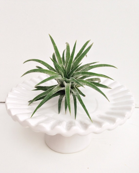 tillandsia pi destal cupcake plaque air plante. Black Bedroom Furniture Sets. Home Design Ideas