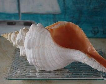 Giant Florida Horse Conch Seashell - Beach Decor