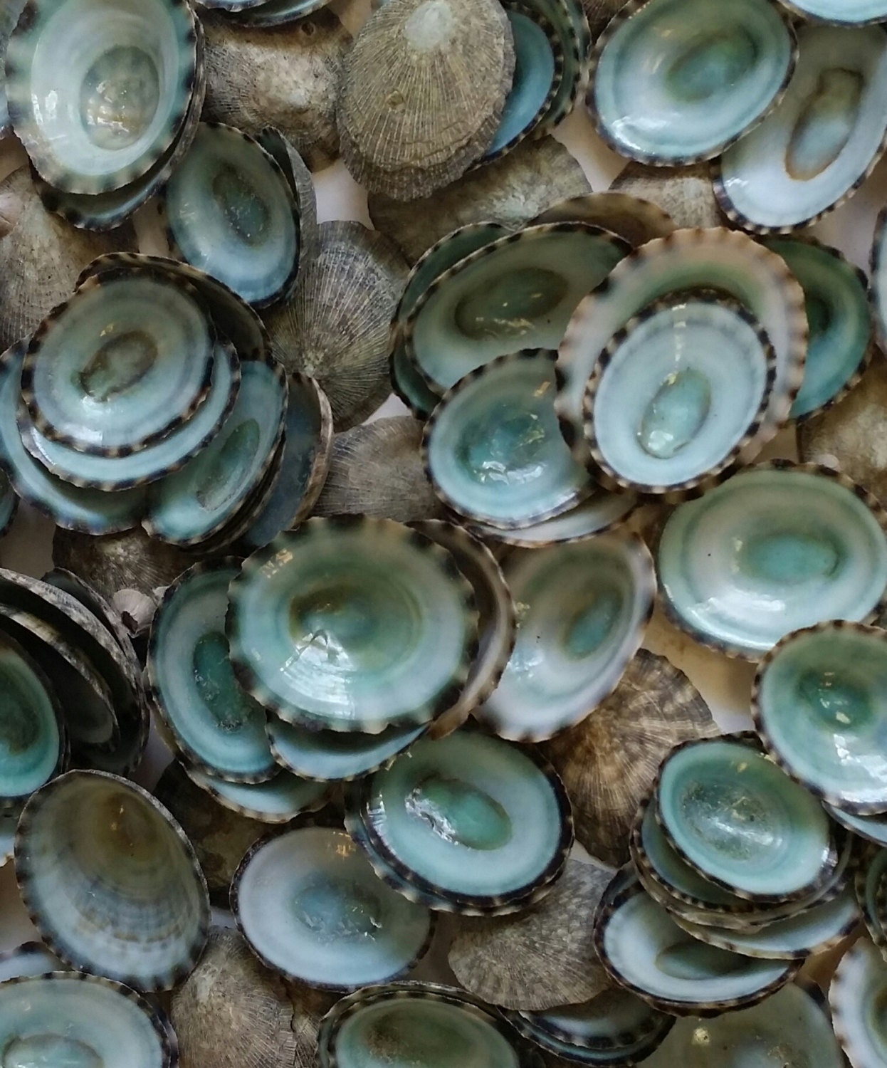 Green limpet small sea shells loose supplies for arts and for Tiny shells for crafts