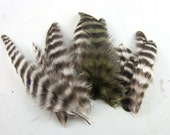 hen saddle feathers barred black and white olive 1 to 3 inches 30 K