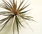 Large Tillandsia Stricta x Aeranthos // Large Air Plant // Garden Gift