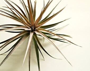 Large Tillandsia Stricta x Aeranthos // Large Air Plant // Garden Gift