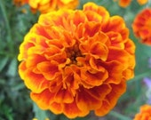 SALE French Marigold Cut Flower Seeds Cottage Garden Seeds Annuals Heirloom Flowers Companion Plants