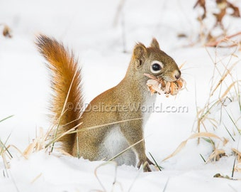 Winter Squirrel Print - Woodland Animal Photography, Red Squirrel in Snow